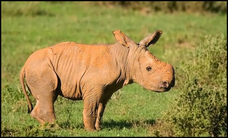Rhino calf at Kariega Earth Day.jpg
