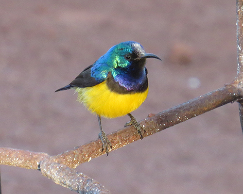 Beautifully colored sunbird